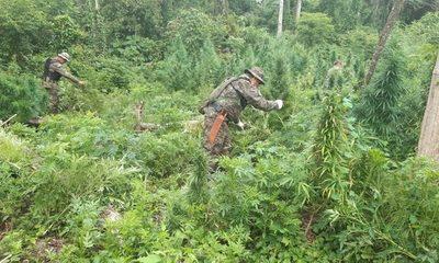 Destruyen plantación de marihuana en Ñacunday