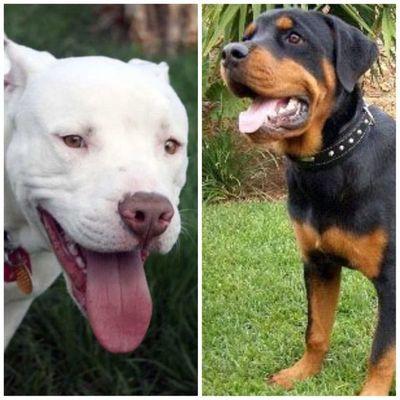 Con amor y atención, pitbulls y rottweilers pueden ser pacíficos