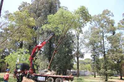 Un Tajy de 12 metros es el árbol número 100 que fue trasladado