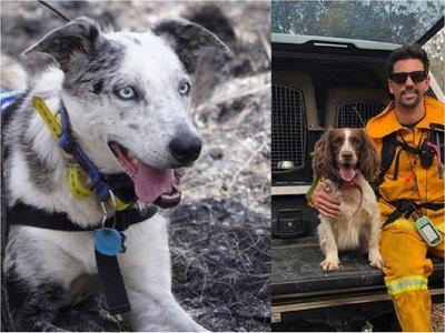 Bear y Taylor, los perros rescatistas que salvan Koalas en los incendios