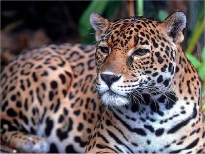 Instan a preservar la especie del Yaguareté