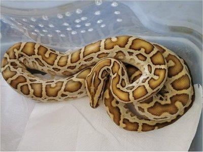 Paraguayo quiso ingresar al país serpientes sin aprobación del Mades