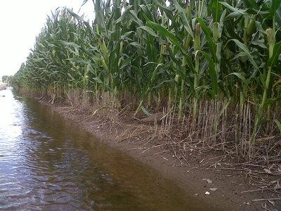 Últimas lluvias favorecen a cultivos.