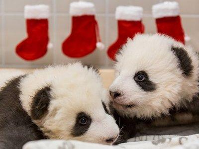 Zoo de Berlín revela sexo y nombres de sus dos osos pandas nacidos