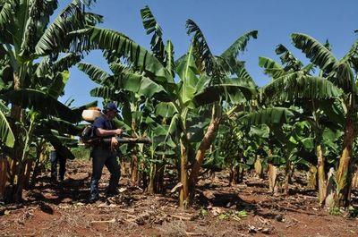 Exportarán banana paraguaya a Chile
