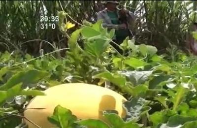 Producen sandía amarilla en Itapúa Poty