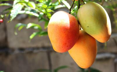 TOP 10 Beneficios del mango, que te harán amar esta fruta