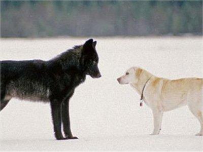 Los perros, al igual que los lobos, cooperan para lograr recompensas