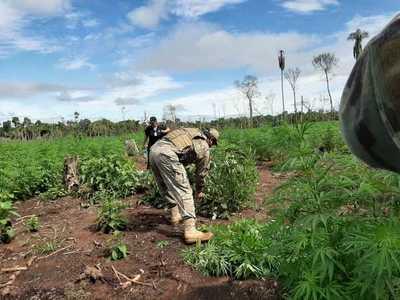 Yby Yaú: Destruyen plantaciones de marihuana