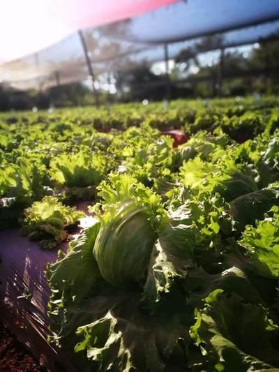 Investigadores paraguayos publican artículo tras investigaciones sobre variedades locales de lechuga