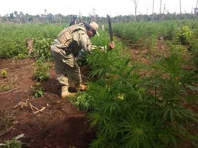 SENAD y FTC anularon más de 78 toneladas de marihuana en Yby Yaú