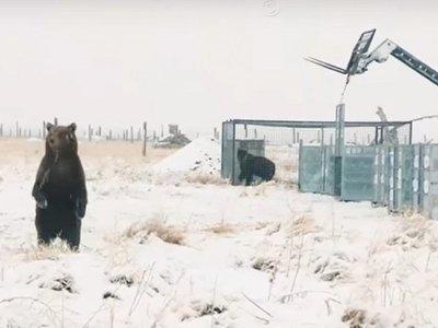 La emotiva liberación de 10 osos pardos que estaban enjaulados