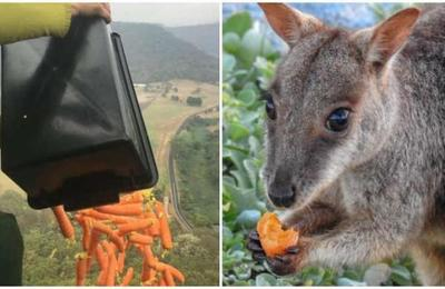 Lanzan comida desde helicópteros para alimentar a animales en Australia