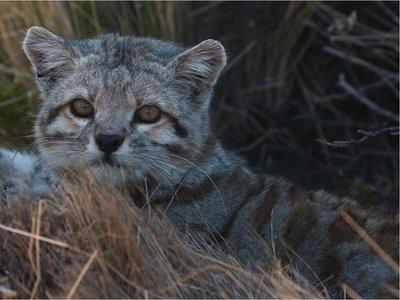 Reapareció el gato andino, uno de los felinos en peligro de extinción