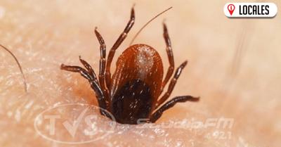 Garrapatas: segundo parásito que transmite mayor cantidad de enfermedades a los humanos