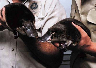 El ornitorrinco camino a la extinción por culpa del cambio climático