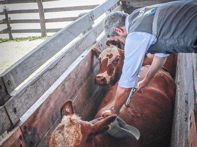 Marito vacunó a las vacas en el Chaco