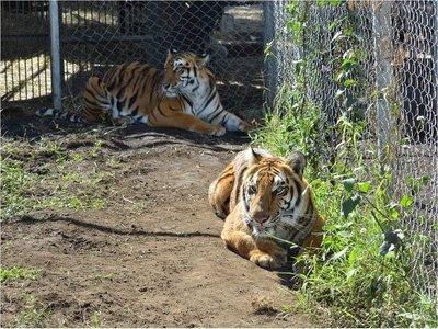 Rescatan a 12 tigres y 5 leones tras sufrir años de abusos en circos