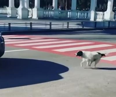 Un perro callejero detiene el tránsito para que crucen los niños