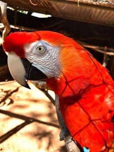 Roban dos guacamayos del Jardín Botánico y Zoológico de Asunción.