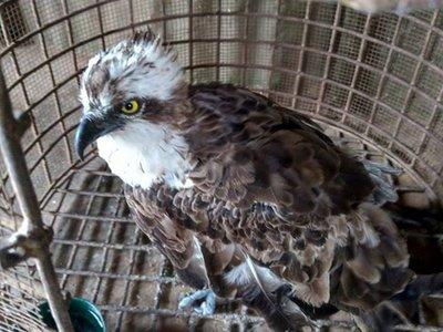 Águila vuela casi 7.000 kilómetros desde Finlandia hasta Kenia
