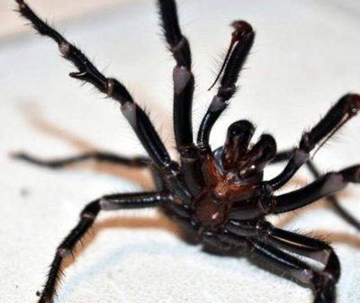 Arañas mortales amenazan a Australia