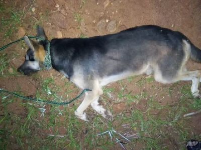"""Pirayú: hombre ahorcó a su perro porque lo puso """"nervioso"""""""