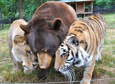 Estados Unidos: Inusual amistad entre un oso, un leon y un tigre en un refugio de aimales