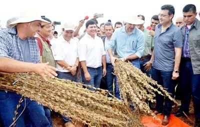 Inician cosecha del sésamo en el departamento de San Pedro