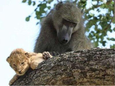 Un babuino recrea la famosa escena de El Rey León con una cría de león