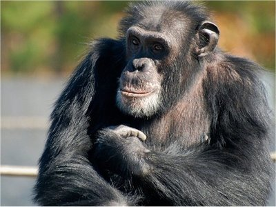 Caza furtiva y demanda de madera amenazan a chimpancés