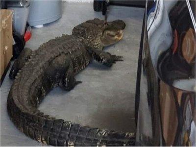 EEUU: Encuentra un caimán de más de 2 metros en su garaje