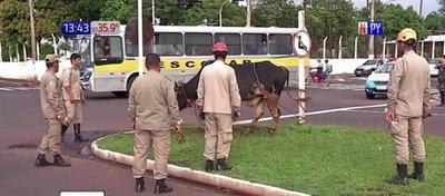 Toro suelto hirió a varias personas en la vía pública