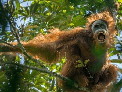 El orangután más vulnerable del mundo amenazado por una represa