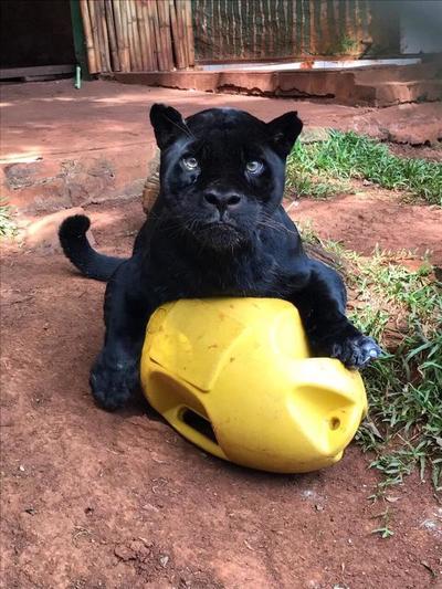 Falleció el jaguareté Chito a los 18 años