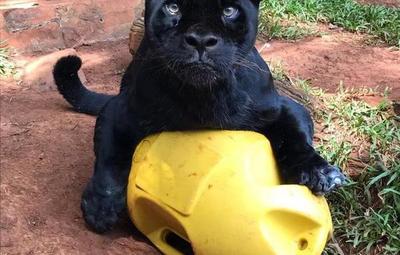 Falleció Chito: El jaguareté de 18 años de la reserva de Itaipú