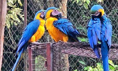 Nacen cinco guacamayos azul y amarillo en el CIASI de Itaipú