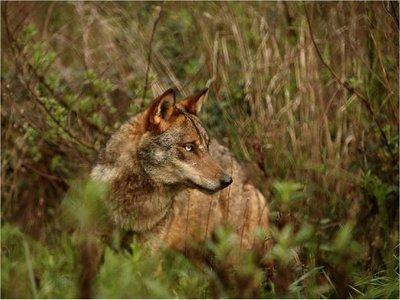 Un hombre vivió 3 años con un lobo ibérico, creyendo que era un perro