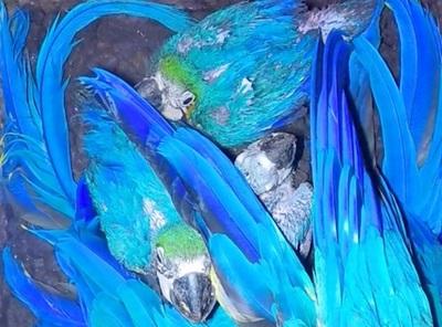 Cinco guacamayos azules nacen en Centro de Investigación