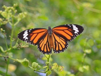 La ruta de la mariposa monarca por Norteamérica está en peligro