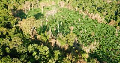 Senad elimina plantación de marihuana en Morombí