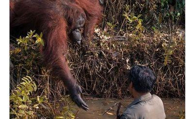 Orangután vio a un hombre vadear en agua infestada de serpientes y decidió ofrecer una mano amiga