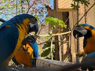 Repoblarán áreas protegidas de Canindeyú con guacamayos azul y amarillo