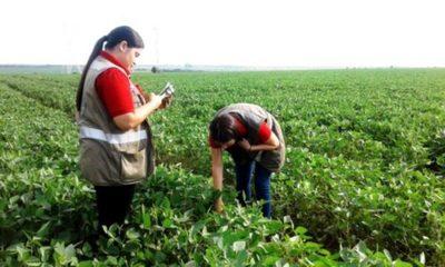 » Reportan baja incidencia de plagas y enfermedades en cultivos de soja