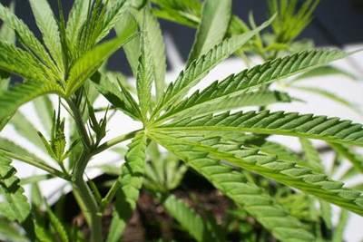 Industriales quieren más jugadores en mercado de aceite de cannabis