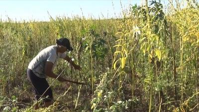 A mal tiempo buen trabajo: Comunidades indígenas realizan cosecha de sésamo