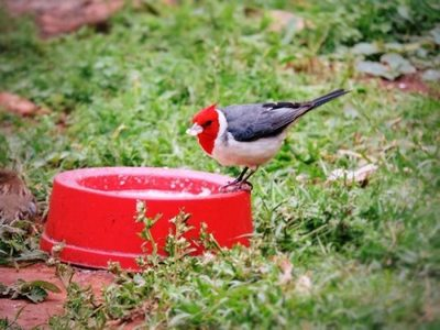 Guyra Paraguay invita a fotografiar pájaros del jardín durante cuarentena