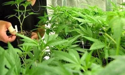 Cannabis, una salida ante desplome esconómico por COVID-19, según Cámara