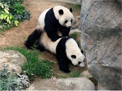 Pandas se aparean por primera vez en 10 años