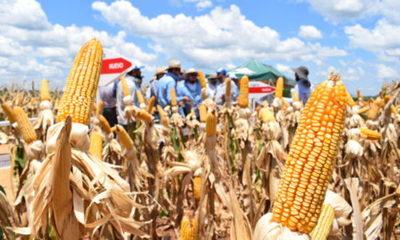 » Para el Usda aumenta la producción mundial de maíz